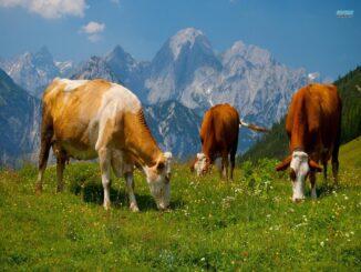 Mộng thấy bò đánh đề con gì?