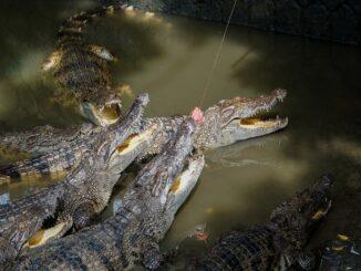Nằm mơ thấy cá sấu đánh đề con gì? Cá sấu là số mấy