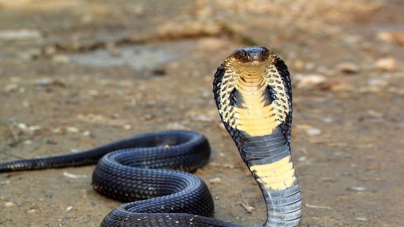 Nằm mơ thấy rắn hổ mang đánh con gì? Rắn hổ mang là số mấy?