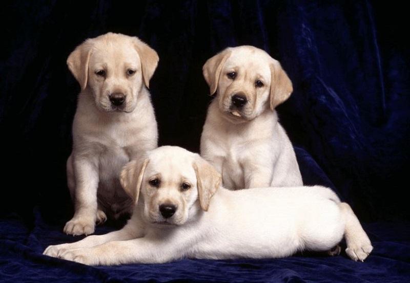 Nằm mơ thấy 3 con chó đánh số gì? Giải mã giấc mơ 3 con chó